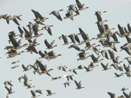 천수만 겨울철새들의 힘찬 날갯짓 시작!...기러기, 오리 등 5만여 개체 천수만 도래